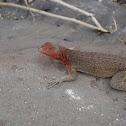 Galapagos Lava lizard