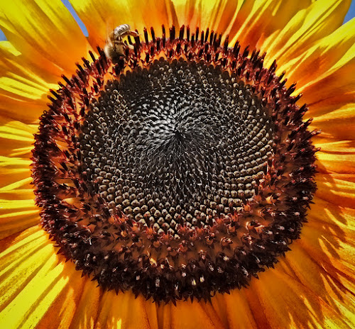 suncokret by Dunja Kolar - Abstract Macro ( suncokret )