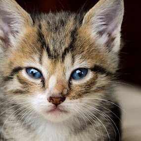 Kitty3 by Richard Wicht - Animals - Cats Kittens ( playing, cat, kitten, cute, eyes,  )