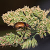 Honey Brown Beetle