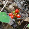 Jack-in-the-pulpit (Berries)