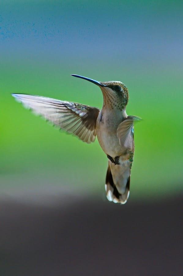 by Brad Warden - Animals Birds ( bird, hummingbgird,  )