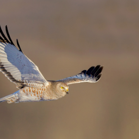Harrier by Herb Houghton - Animals Birds ( herbhoughton.com )