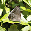 Scrub Hairstreak Butterfly