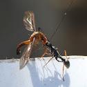 Bull Ant (Jack Jumper?)