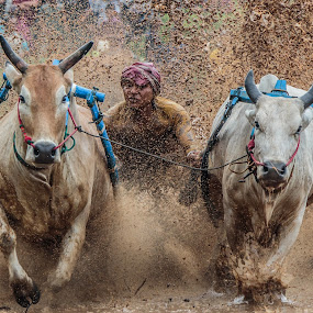 High Speed (pacu jawi) by Teddy Winanda - News & Events Sports ( west sumatera tourism, minangkabau, indonesia, racing cows, pacu jawi )