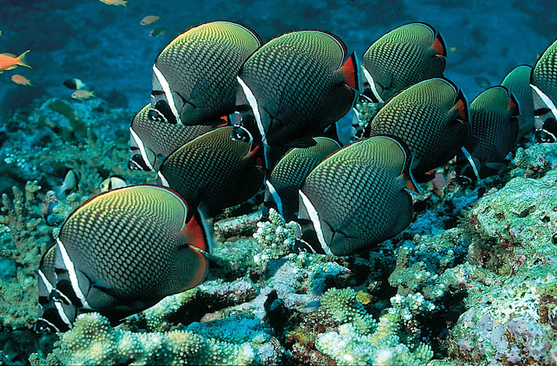 A school of red-tailed butterfly fish in Thailand.