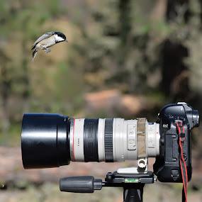 Cincia curiosa by Luigi Alloni - Animals Birds ( cincia uccello bird fly photocamera canon )