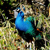Indian/Blue Peafowl (Male)