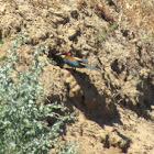 Bee-eater & nest