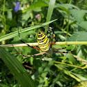 Black and Yellow Garden Spider, Corn Spider, Writing Spider
