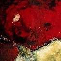 Red Sieve Encrusting Sponge