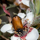 Nectar Scarab Beetle