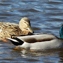 Mallards / Stockenten