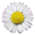 White Flower Live wallpaper icon