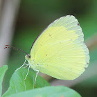 Large Grass Yellow or Common Grass Yellow (male) wet season form