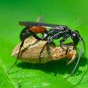 Wasp, Pompilidae