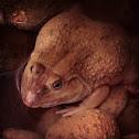 虎皮蛙 , Chinese edible frog