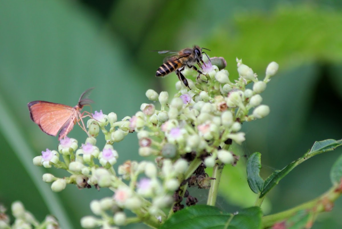 Honey bee and Moth