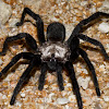 Brush-footed Trapdoor Spider
