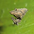 Philoponella congregabilis