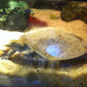Soft shelled spiny turtle