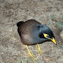 Common Myna; Indian Myna