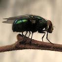 Fly [pt-br: Mosca]