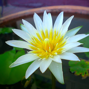 The Lotus - born and grows in muddy water to stand above it all; confident & beautiful.  by Jo-Ann Tan - Flowers Single Flower (  )