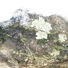 Common Green Shield