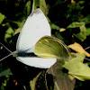 Mariposa de la col. White cabbage butterfly
