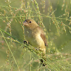 Double-collared Seedeater - female