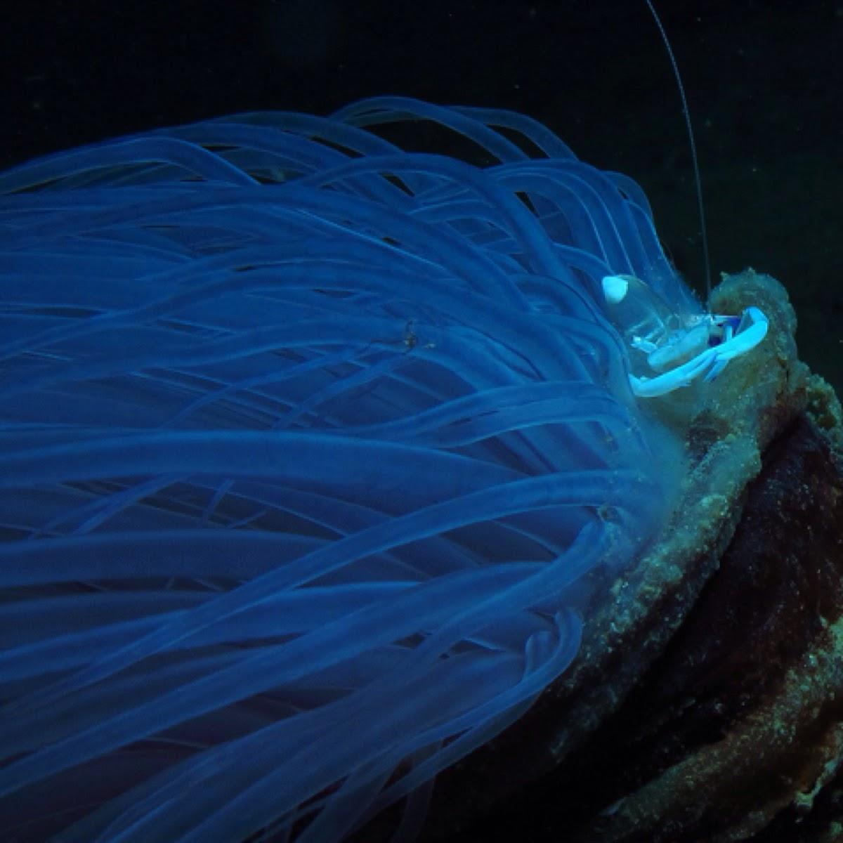 Magnificent shrimp