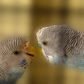 pink and blue... by Nisha B. - Animals Birds ( love, lovers, pets, budgerigar, couple, pet birds, improving mood, moods, red, the mood factory, inspirational, passion, passionate, enthusiasm,  )