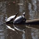 Midland Painted Turtles