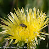 Hairy Chafer Beetle