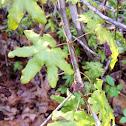 American climbing fern.