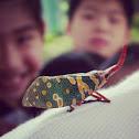 龍眼雞Lantern-fly