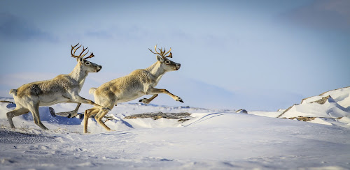 In perfect Step by Eugene Ball - Animals Other Mammals ( wild, animals, winter, newfoundland, snow, caribou, deer,  )
