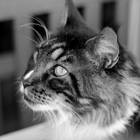 Maine Coon staring at a bird by Birgit Vorfelder - Animals - Cats Portraits ( concentration, cat, tufts, maine coon, cat portrait, wild look, mammal, intense look, portrait, animal, black and white,  )