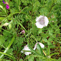 Tolmie's mariposa lily