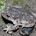 Common midwife toad