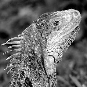 Green Iguana by Milton Moreno - Black & White Animals ( reptiles, animals, black and white, iguana, green iguana bw, reptile, animal,  )