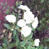 Hybrid white rose