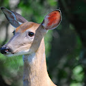 White-tailed deer (Doe)