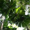 Australian fan palm