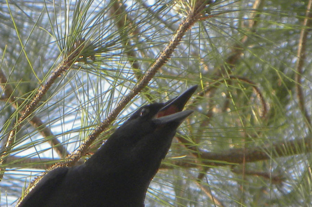 Florida Crow