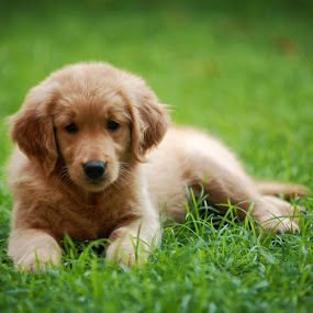 HOPE by Januar D - Animals - Dogs Puppies ( puppies, dogs, grass, golden, baby, young, animal )