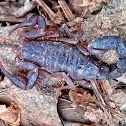 Southern Unstriped Scorpion