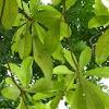 clausena lansium (wampi) 黄皮